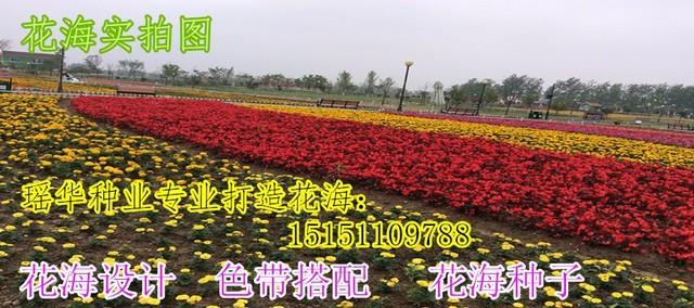 隆回朝鲜结缕草种子花种子大全