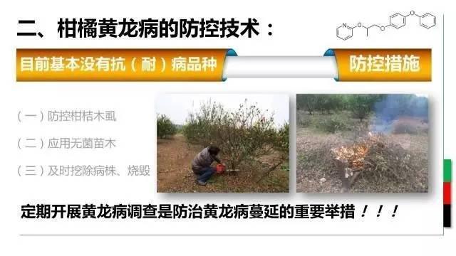 农技柑橘黄龙病防控技术