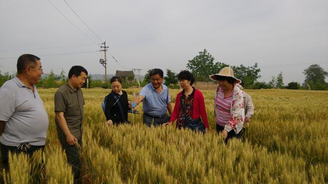 省农业种子总站:省部分小麦委员考察中部小麦品种