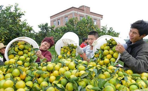 广东廉江红橙节