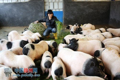 """80后小伙回乡当""""猪倌"""" 网上卖猪肉"""