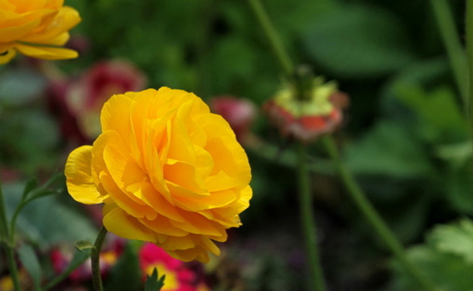 根治花卉黄叶的方法,使用后叶片浓绿有光泽