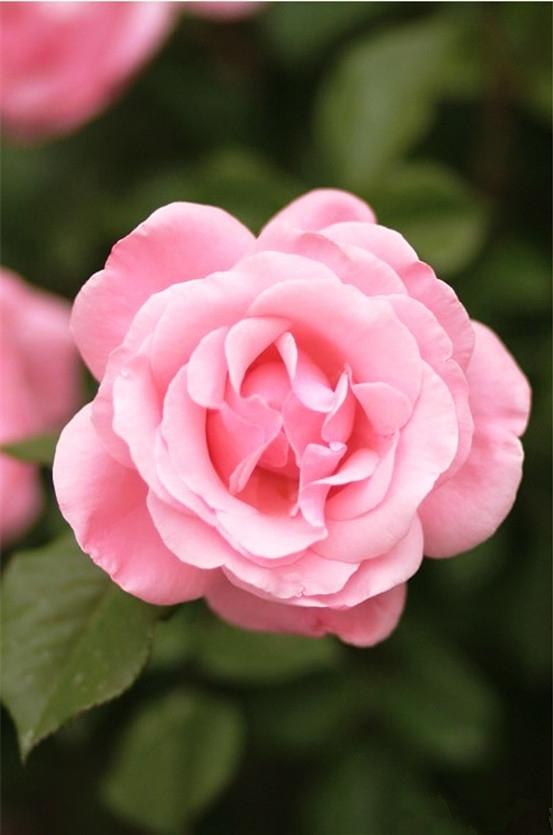 此生難得一見的玫瑰花都在這里,美爆了!(4)