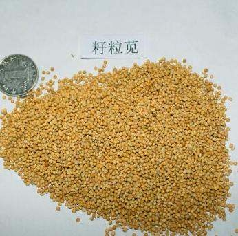 高粱玉米還比不過這株野草,高蛋白植物數它第一(2)