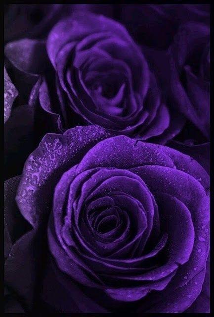 此生難得一見的玫瑰花都在這里,美爆了!(2)