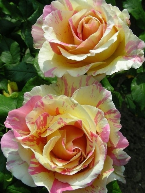 此生難得一見的玫瑰花都在這里,美爆了!(3)