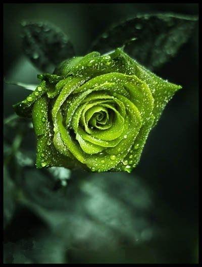 此生難得一見的玫瑰花都在這里,美爆了!(1)