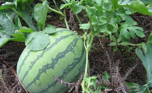 西瓜栽植管理技术