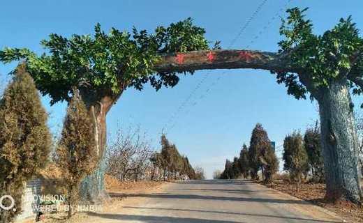 屯留县上莲开发区贺家岭村旱地西红柿成熟了