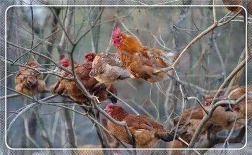 为什么养土鸡的人要经常喂大蒜给土鸡吃?看完涨知识