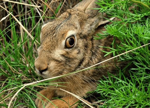 农村野兔养殖的四种方式和注意事项