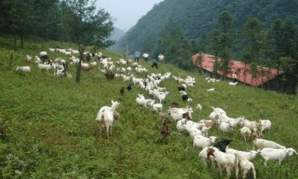 羊的养殖方式和冬季的注意事项
