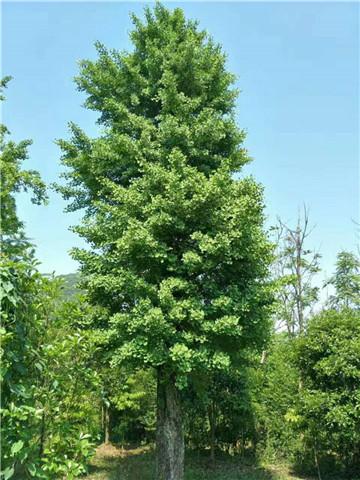 贵州银杏树