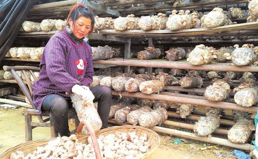 随县封江明义村村民正采摘今年种植的第一茬袋料香菇