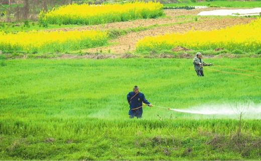 随县安居镇农民对小麦进行田间管理,确保增产增收