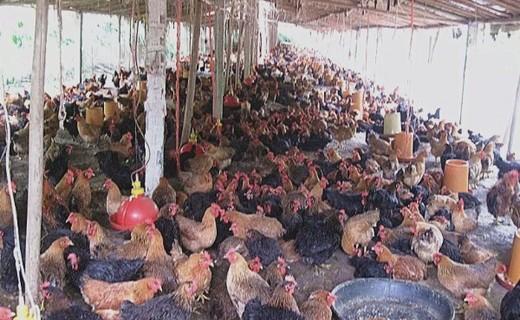 梨园养土鸡 增收又环保