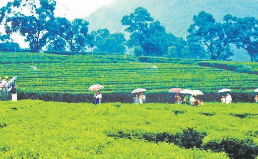 广东清远市英德红茶