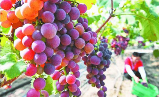 大圩葡萄 喜丰收