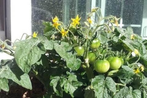 盆栽蔬菜的种植条件和技术