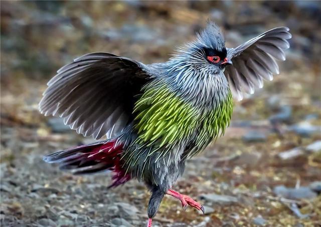 西藏发现一种怪鸡,红脸红脚红尾巴,被捉住就不吃不喝绝食而亡