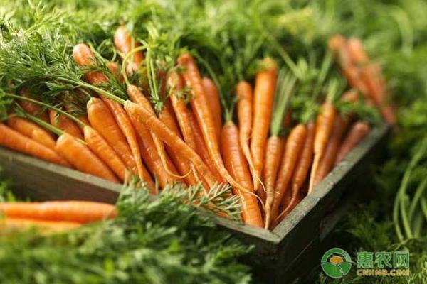 胡萝卜高产种植方法