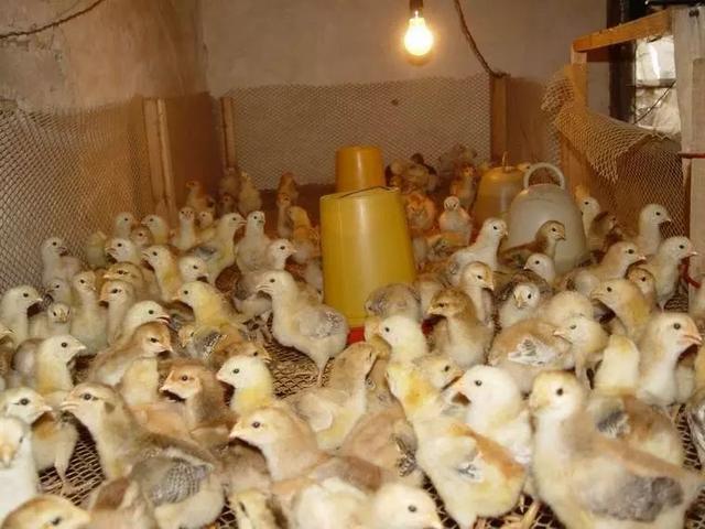 最全小鸡育雏方法:从饮水温度控制到用药,写得太好了