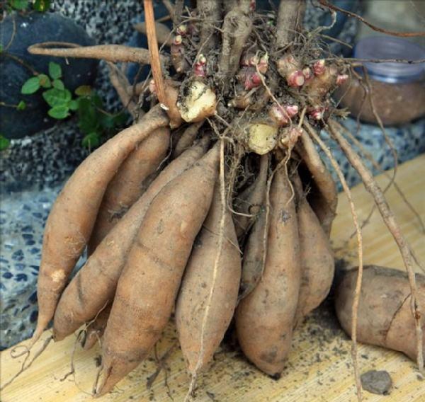 """貌似红薯不是红薯,酷似洋姜不是洋姜。逆袭种植神果:""""钱图""""无量"""