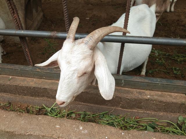 我的两年半种草养羊路,种草养羊的可行度到底有多高?