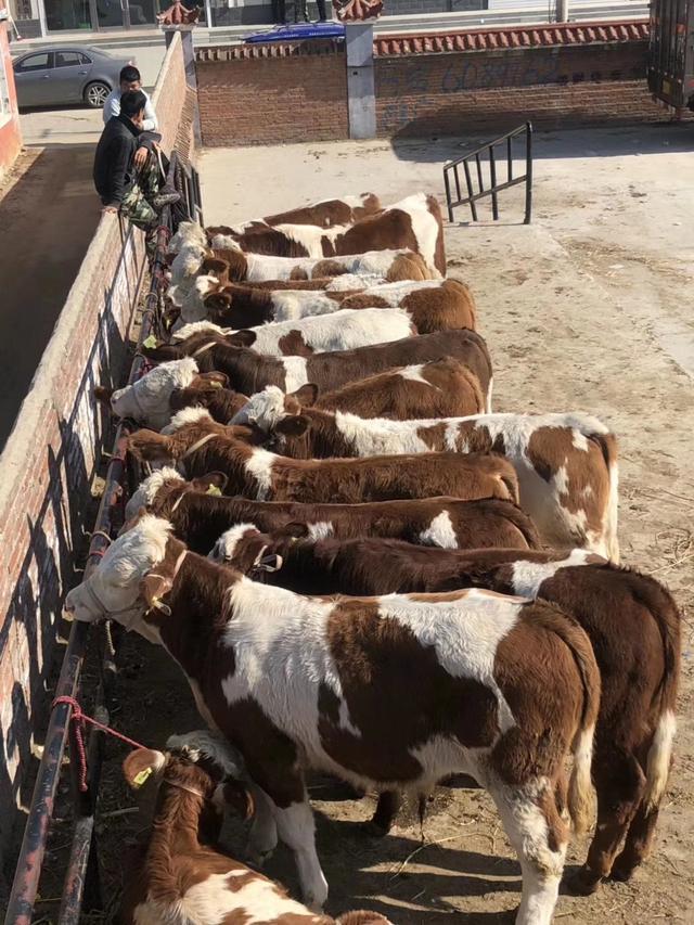 中国农村养殖本地土黄牛和养殖西门塔尔优质牛的区别到底有多大?
