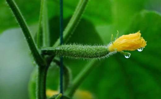种植黄瓜给其喷醋有何好处,什么时间喷洒比较好?