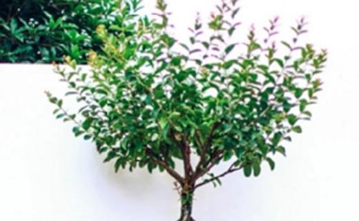 温江寿安花木:通过传统文化展现地方植物特色